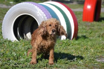 Banksia Park Puppies Sami - 14 of 36