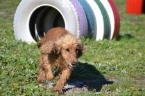 Banksia Park Puppies Sami - 15 of 36