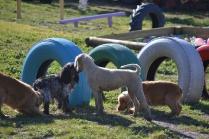 Banksia Park Puppies Sami - 2 of 36