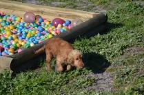 Banksia Park Puppies Sami - 26 of 36