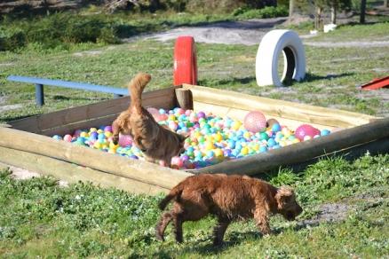 Banksia Park Puppies Sami - 27 of 36