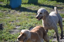 Banksia Park Puppies Sami - 3 of 36