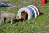 Banksia Park Puppies Sami - 31 of 36
