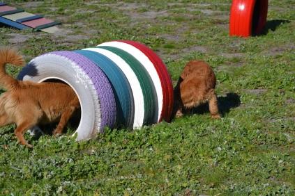 Banksia Park Puppies Sami - 34 of 36