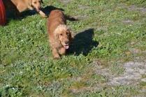 Banksia Park Puppies Sami - 36 of 36