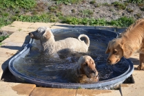 Banksia Park Puppies Sami - 5 of 36