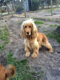 Banksia Park Puppies Sami