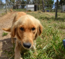 Banksia Park Puppies Sharna