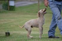 Banksia Park Puppies Sherman