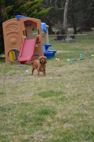 Banksia Park Puppies Shez