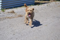 Banksia Park Puppies Skitz - 1 of 3 (2)