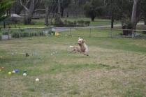 Banksia Park Puppies Snooky