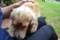 Banksia Park Puppies Sugar