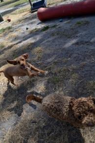 Banksia Park Puppies Taylee