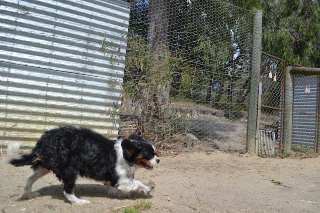 Banksia Park Puppies Tiny