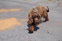 Banksia Park Puppies Wahinda - 1 of 7 (1)