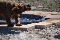 Banksia Park Puppies Wahinda - 1 of 7 (2)
