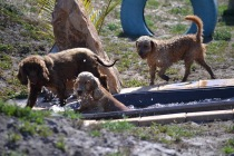 Banksia Park Puppies Wahinda - 1 of 7 (3)