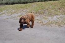 Banksia Park Puppies Wahinda - 1 of 7 (4)