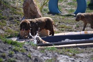 Banksia Park Puppies Wahinda - 1 of 7