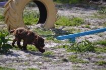 Banksia Park Puppies Walida - 19 of 26