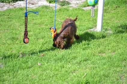 Banksia Park Puppies Walida - 23 of 26
