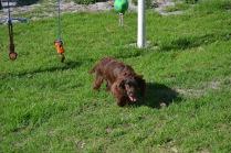 Banksia Park Puppies Walida - 25 of 26