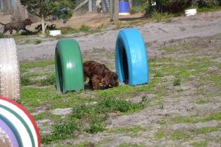Banksia Park Puppies Walida - 5 of 26