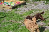 Banksia Park Puppies Walida - 8 of 26