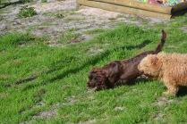 Banksia Park Puppies Walida - 9 of 26