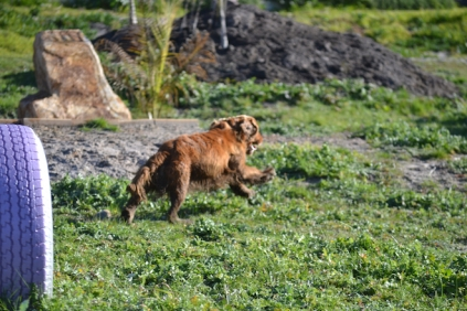 Banksia Park Puppies Wally - 9 of 13