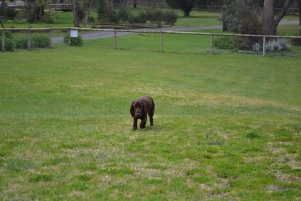 banksia-park-puppies-wanika-39-of-83