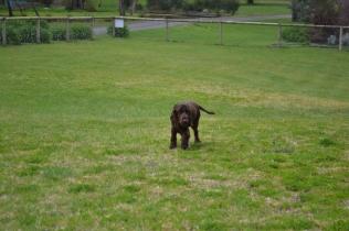 banksia-park-puppies-wanika-40-of-83