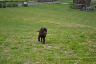 banksia-park-puppies-wanika-41-of-83