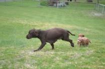 banksia-park-puppies-wanika-75-of-83