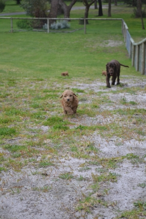 banksia-park-puppies-wanika-78-of-83