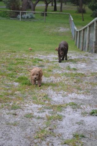 banksia-park-puppies-wanika-79-of-83