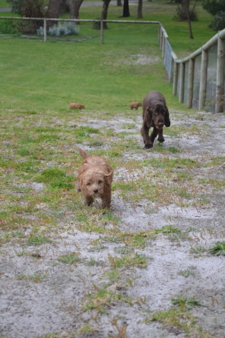 banksia-park-puppies-wanika-80-of-83