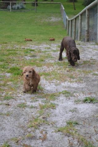 banksia-park-puppies-wanika-81-of-83