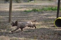 Banksia Park Puppies_Alvin