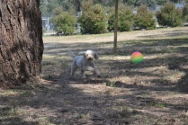 Banksia Park Puppies_Avalon