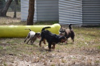Banksia Park Puppies_Bitsy