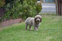 Banksia Park Puppies_Awesome