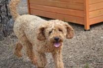 Banksia Park Puppies_Babs