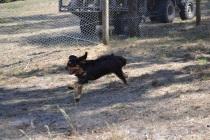 Banksia Park Puppies_Beauty
