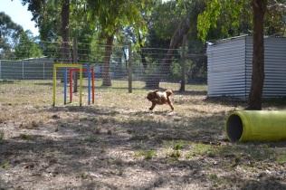 Banksia Park Puppies_Brian