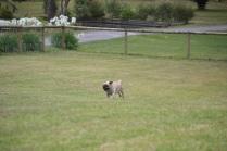 Banksia Park Puppies_Brick