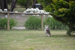Banksia Park Puppies_Buttercup