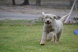 Banksia Park Puppies_Buttercup