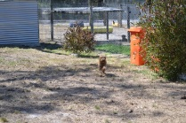 Banksia Park Puppies_Chilli